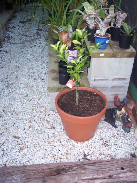 Dwarf Emperor Mandarine Potted 17-9-12