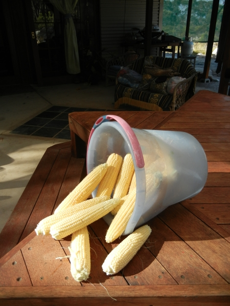 Liz Andscott's corn. Very impressive cobs and probably taste sugar sweet!