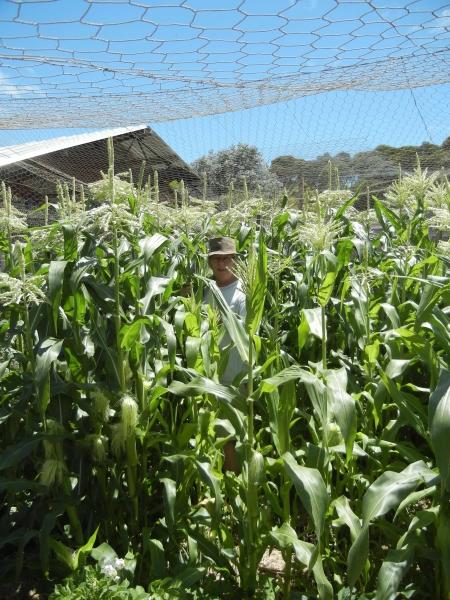 Liz standing in her crop of corn. December 2012.