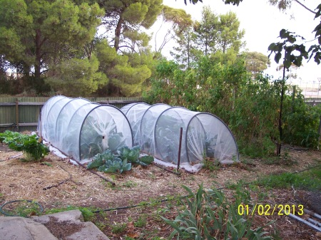 Hoop Houses covered in vegenet protecting the Brassica crop and doing a great job as well! Bed 7.