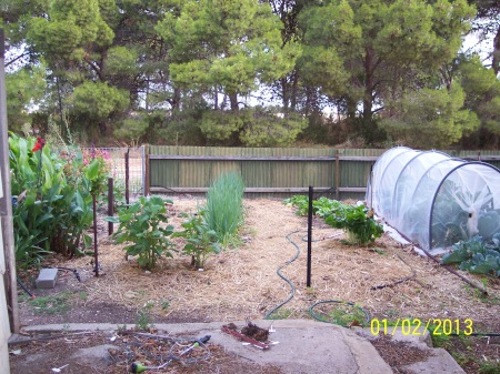 Bed 6a was used for the last onion crop which has mostly been harvested. The Allium Fistulosum (Green bunching onions) Winter Ishikura remain for a gradual harvest. At the near end of the left bed you can see the Yacons growing and on the right in Bed 6b there are Wong Boks! The exposed remains have been covered in straw mulch to hold the weeds at bay until I can get to planting them up.