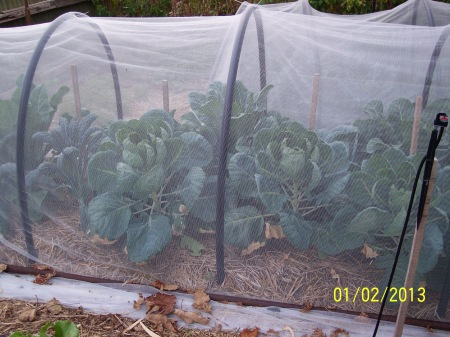 Brussels Sprouts, Cyrus Hybrid well grown under the vegenet. No aphids or caterpillars in sight.