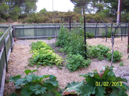 Bed 1 showing Red Gauntlet strawberries in their first year and producing well. Sweet Potatoes can be seen to the right and also doing well.