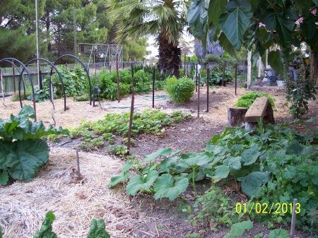 Butternut pumpkin beside the garden bench near the old strawberry bed