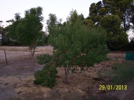 Peach Tree 130129