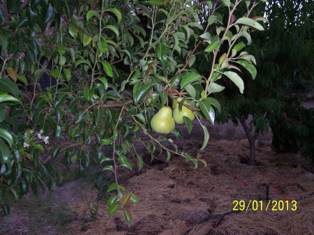 The same pear tree showing some nice fruit for the first time this year.
