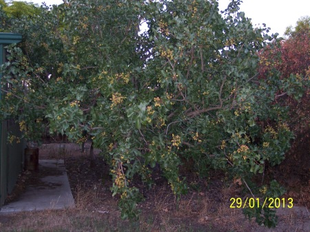 Pistachio tree, one of two females, outside the pullet house loaded with nuts.