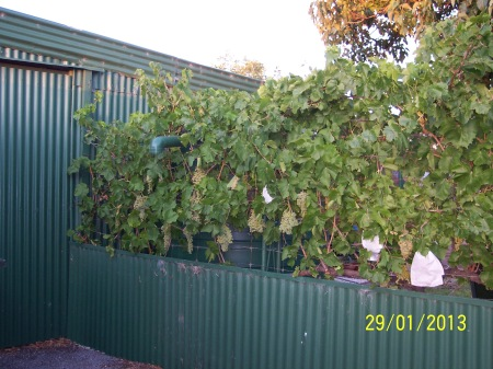 Thompson Seedless with some fruit bags. These were to save the fruit from the birds but the hawks have taken care of that. In fact the bags overheat the fruit on hot days and the bunches cook and are ruined. This was an experiment that I won't be repeating.