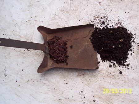 Final Stage. The last layers of castings scraped away and the seething mass of worms are swept onto the dustpan. Becaus there have been several splits before the quantity is not as great as it once was but there are at least 5000 worms in this harvest. Half back into each worm farm will put about 2,500 in each freezer. Not bad and next year should be even better.