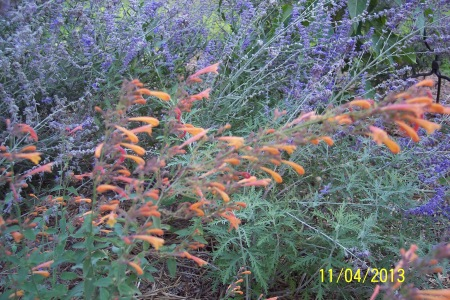 Close up view of Agastache Aurantiaca. Has not attracted the birds as the do in Ballarat.