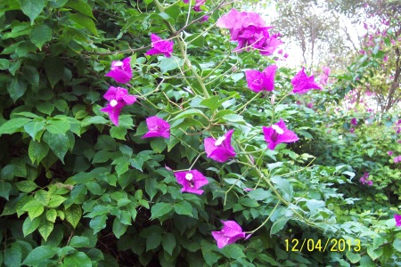 Bougainvillea Magnifica covers the entire fence of the tennis courts and Kiosk Yard. April 2013.