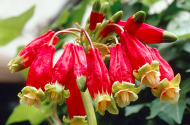 Californian Firecracker is ideally suited to my mediterranean climate of wet winters and long hot summers.