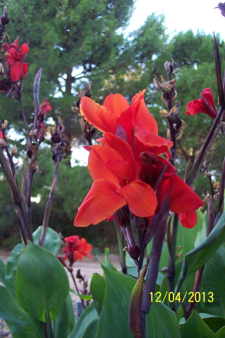 Canna Lily in the South Perennial Garden. April 2013.
