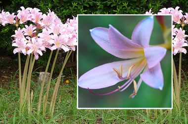 Magic Lily is proposed to be planted beneath my summer flower perennial so these can grow through and flower before the large perennials take over.