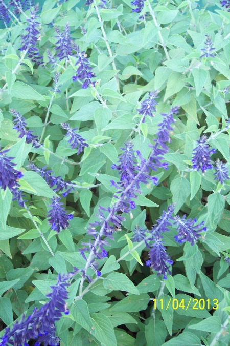 Closeup of Salvia Anthony Parker.
