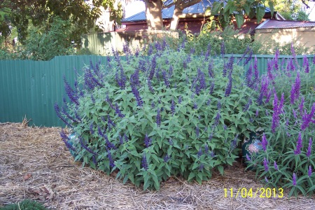 Salvia Anthony Parker. Second year flowering.