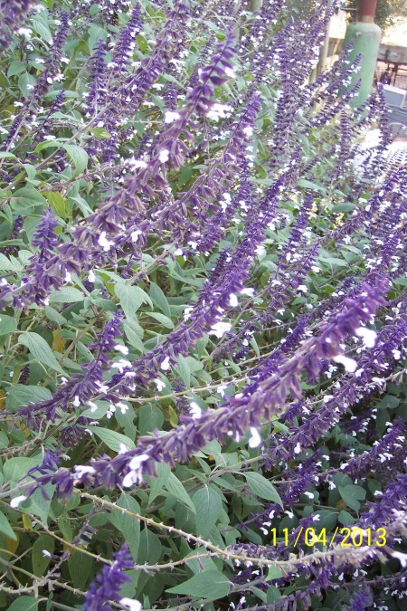 Closeup of Salvia Meigan's Magic.