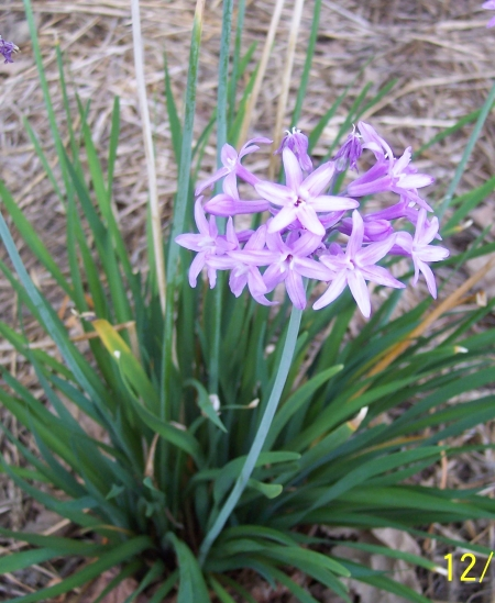 Tulbaghia Violacea opposite the Avocado Garden. No water since August. April 2013.