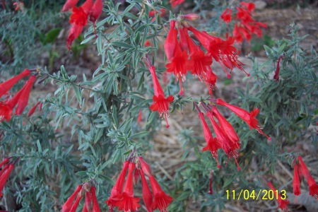 Closeup of Zauschneria Californica Western Hills. 11th April 2013.