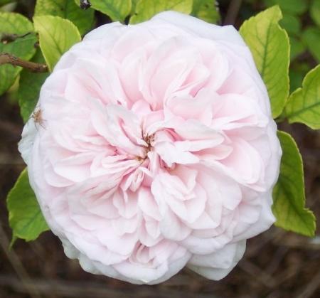 Climbing Rose Souvenir De La Malmaison December 21st 2013