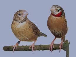 Cut throat Finches