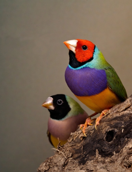 Gouldian Pair. Eah sex can come in various head colours such as in this photo there is a black cap female and a red cap male. The brightest coloured bird is the male.