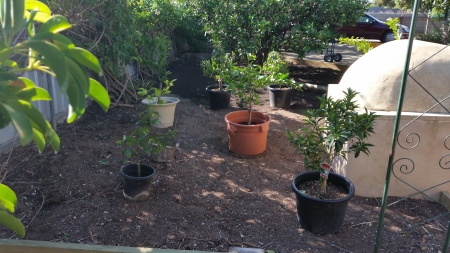 Potted trees in position for final planting in the dwarf orchard.