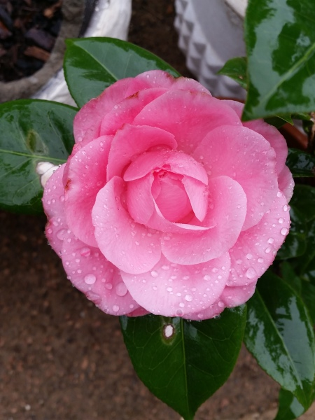 Camellia Japonica Flower. The first for the 2016 season.
