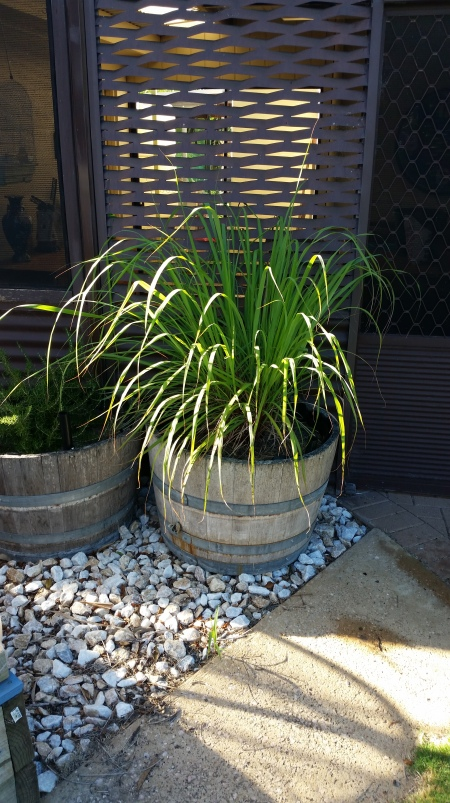 Lemon grass one year after being planted in the wicking barrel. February 2017.